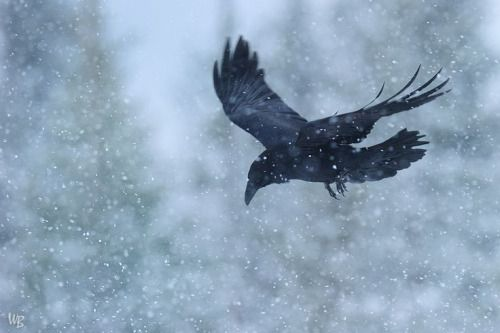 I ♥ Crows