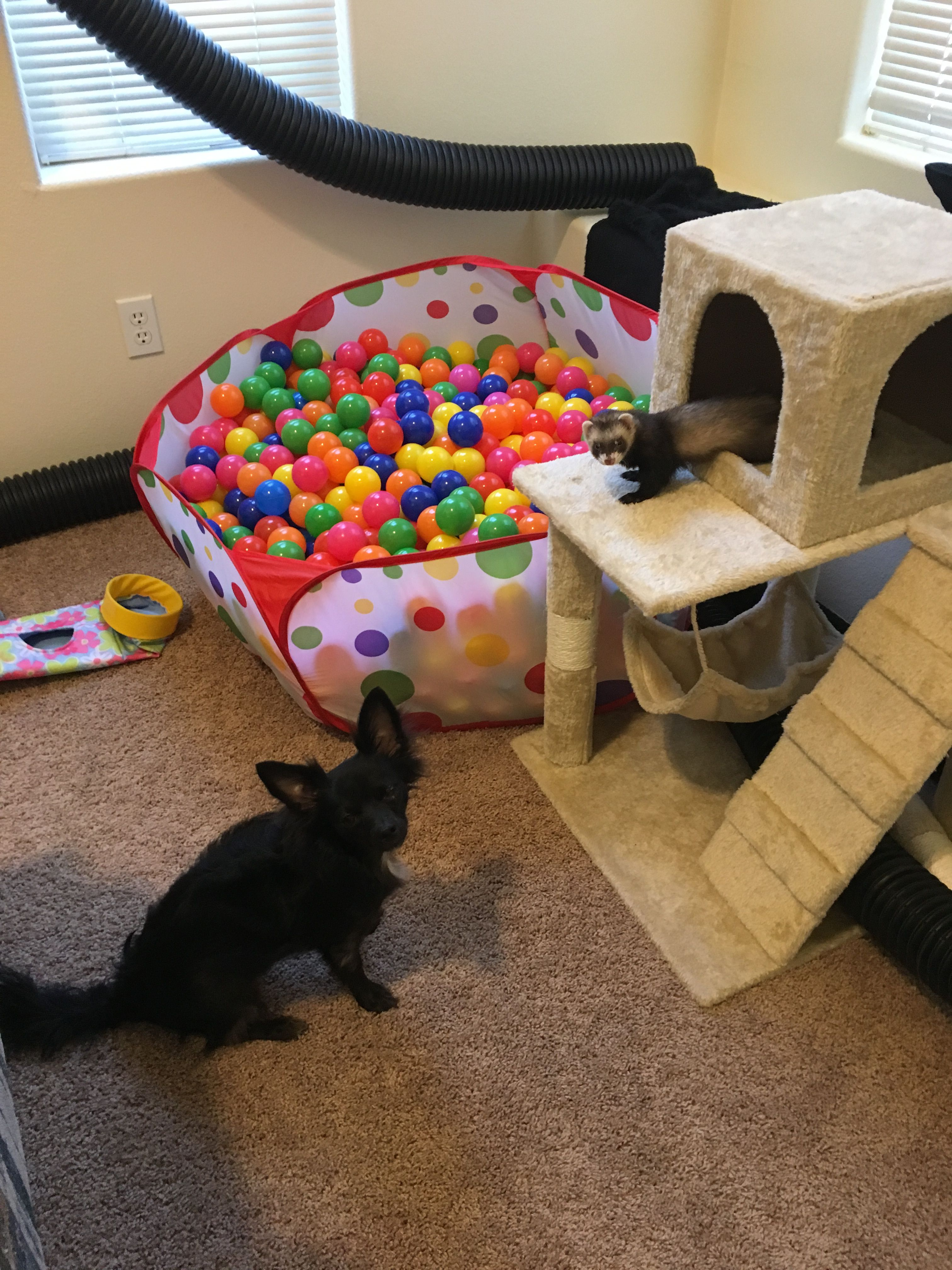 Ferret Playroom With A Ball Pit Tunnels And A Cat Condo Ferret Toys Pet Ferret Ferret Diy
