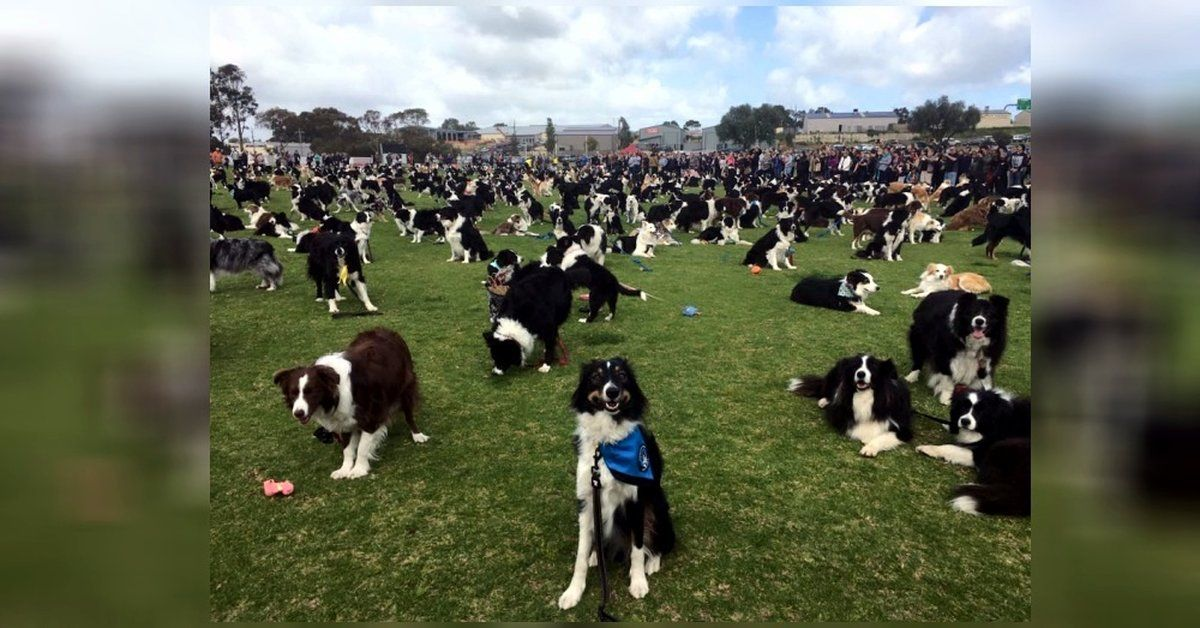 576 Border Collies Paws For Epic Record Breaking Fundraising Photo