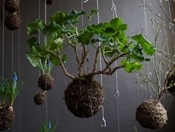 Kokedama : String Garden using Amaryllis Catmur Horticulture Building Participants will learn how to construct this traditional Japanese art form that combines moss, special soil and string around the root to create a string garden that hangs by a bamboo tripod. $20 members; $25 non-members.