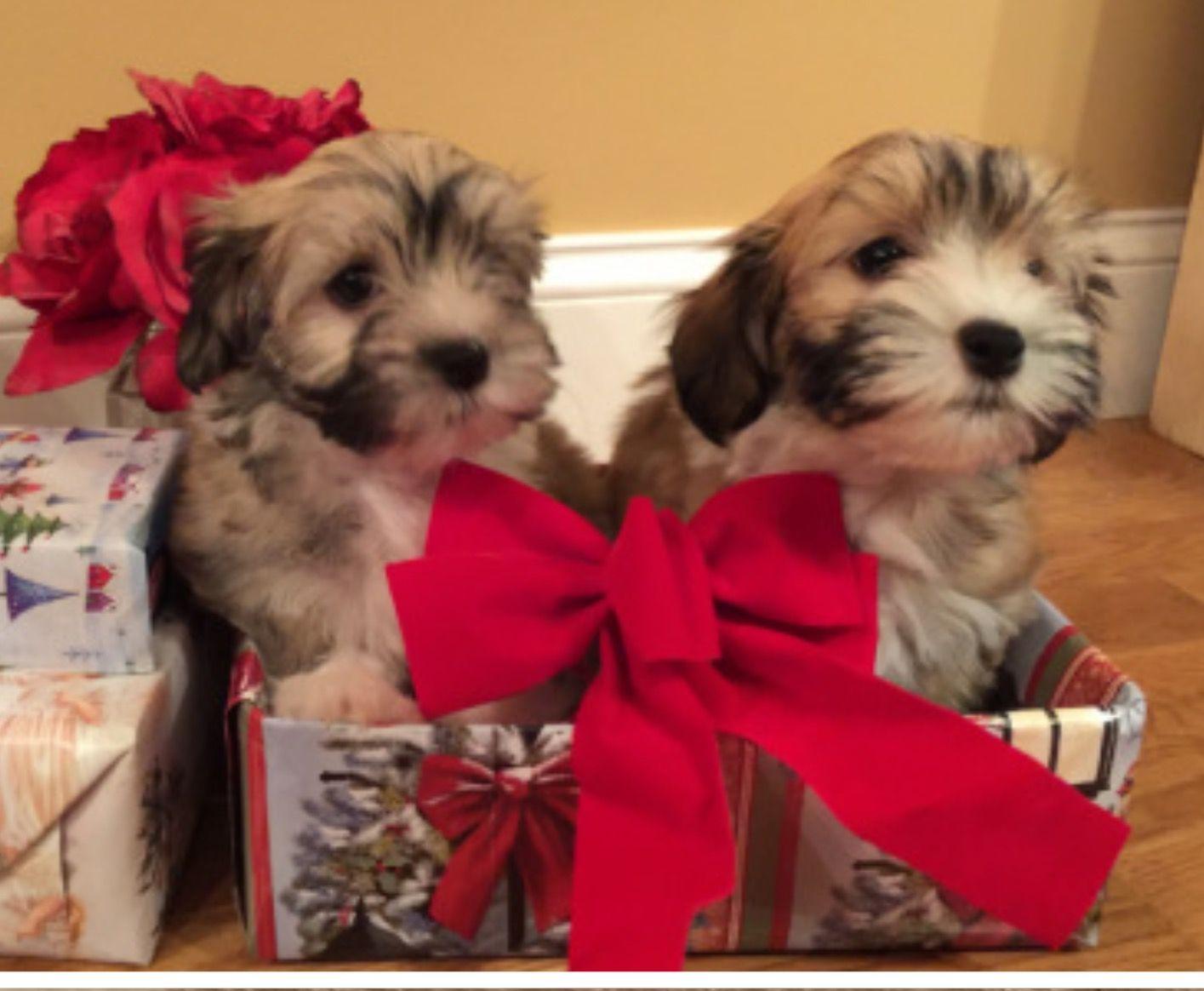 Chocolate Havanese Puppies Colorado