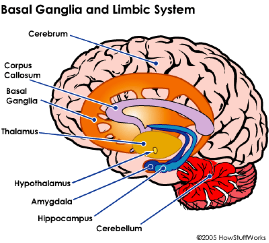 Limbic system and basal ganglia. I didn\'t realize that the basal ...