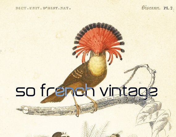 This print is taken from the Dictionnaire Universel d'Histoire Naturelle, a publication directed by the french naturalist Charles Henry Dessalines d'Orbigny. This is the 18... #orbigny #ornithological