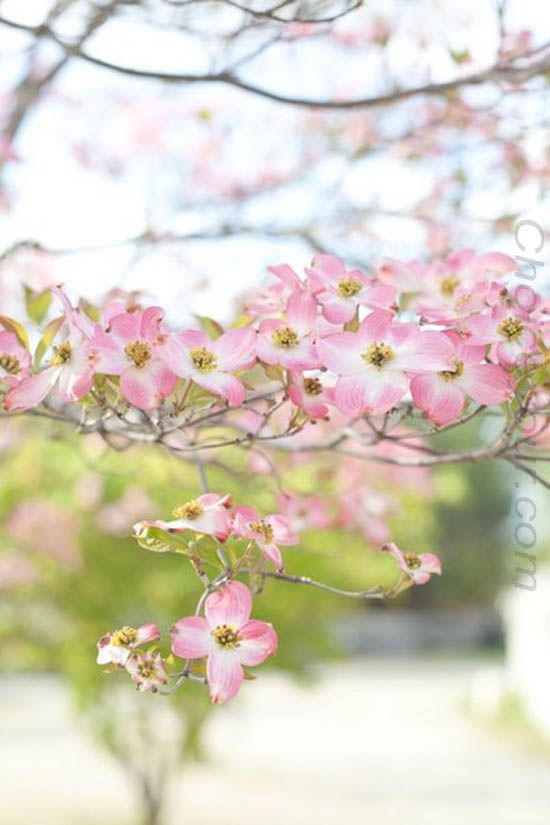 Flowers To Impress That Someone Special Pink Dogwood Dogwood Blooms Beautiful Flowers