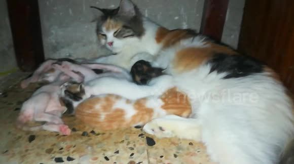 Mother Cat Feeds Her Baby Born Mother Feeding Mother Cat Cat Feeding