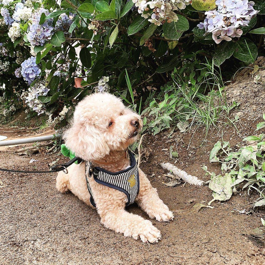 可以不要收心嗎?  #puffy2020 #poodle #poodlesofinstagram #dog #puppy #pet #redpoodle