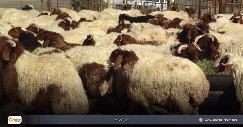 Orient أورينت On Instagram تصديرها إلى مناطق النظام تسبب ارتفاع أسعار اللحوم في إدلب في ظل غياب أجهزة الرقابة الاقتصادية Instagram Posts Instagram Animals