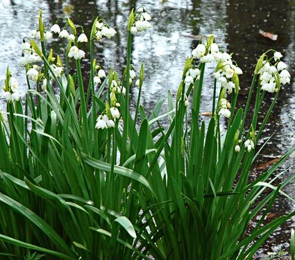 Summer Snowflake (it actually flowers in late spring) naturalizes beautifully, so plant large drifts of it near a stream or pond for a graceful look. Two to seven flowers per stem. Heirloom, 1594. Late-spring to early-summer bloom. 10-12cm bulbs. 5-8 per sq ft., deer resistant