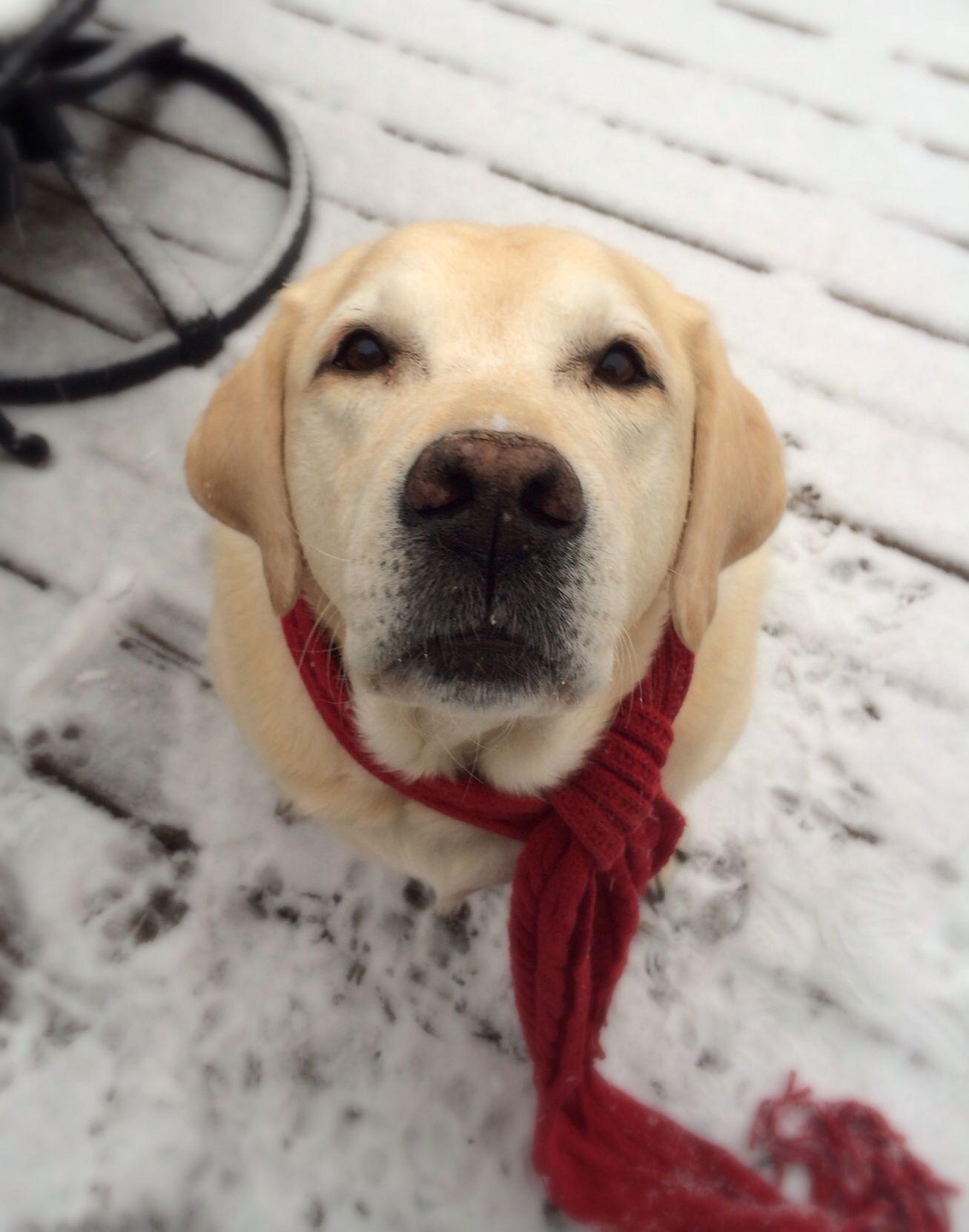 Winter Lab Dog love, I love dogs, Labrador puppy