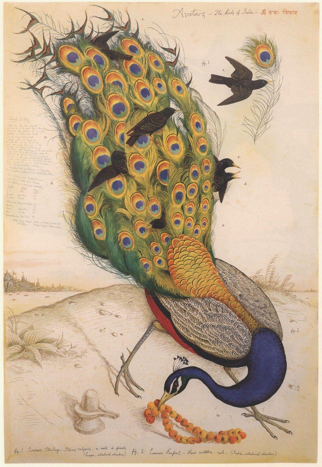 Peacocks & other birds   Pájaros, Birds   Pinterest   Pájaro
