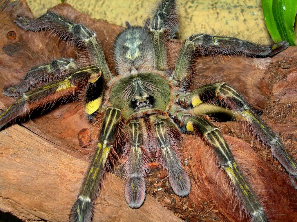 Poecilotheria Rufilata -- Red Slate Ornamental (Wanted List) | The ...