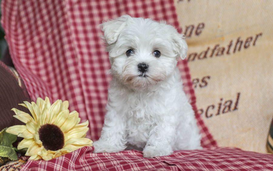 Maltese puppies for sale maltese puppy