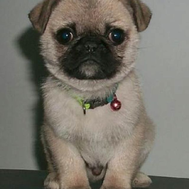 Different Dog Breeds Baby Pugs Baby Pug Dog Pug Puppies