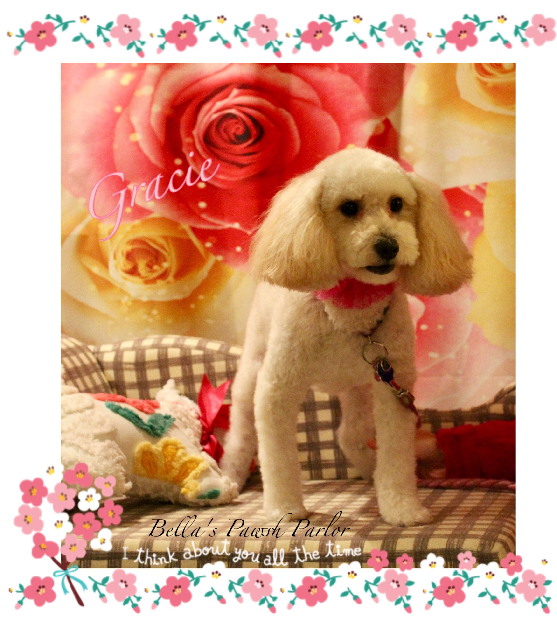 Pin By Lorna Mcallister On Bella S Pawsh Parlor Toy Poodle Golden Retriever Poodle