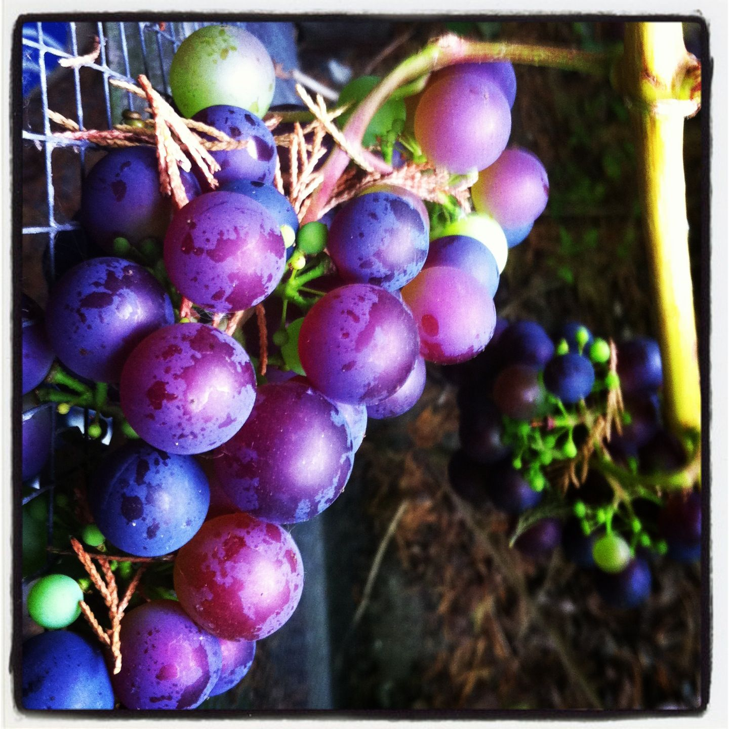 Grapes in our allotment garden