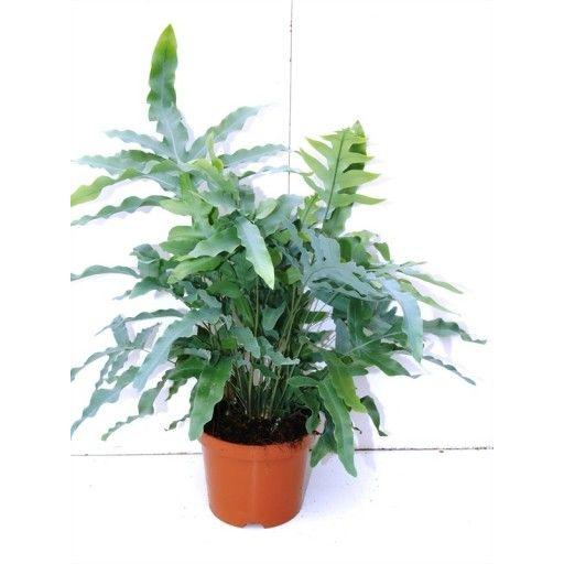 phlebodium aureum blue star google search green pinterest ferns blue and green. Black Bedroom Furniture Sets. Home Design Ideas