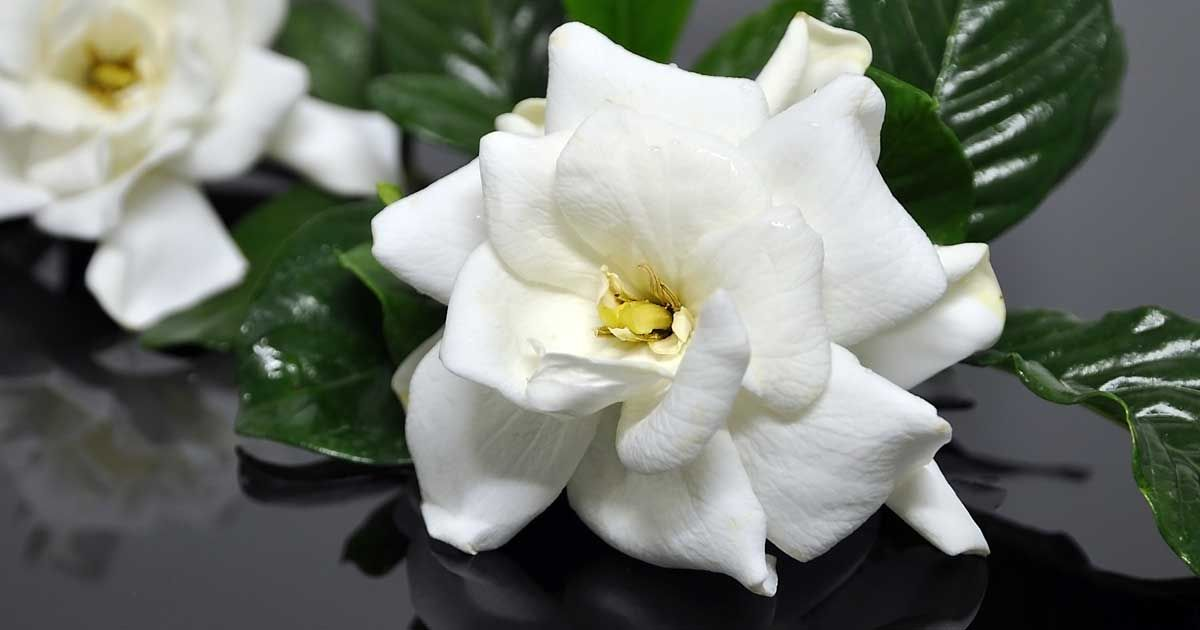 Gardenia Pests Gardenia Plant Patio Trees Edible Plants