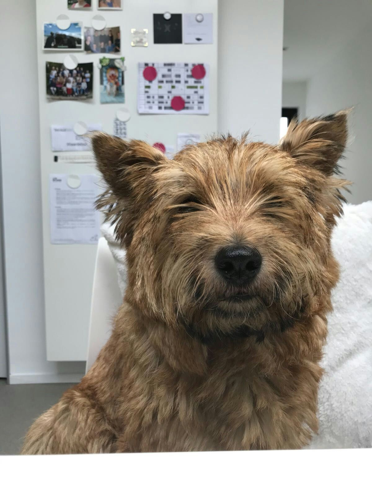 Pin By Martha Watson On Cairn Crazy Cairn Terrier Terrier