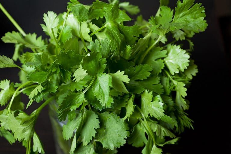 How to store cilantro to make it last for weeks recipe