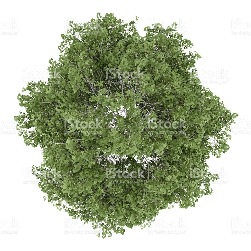 Top View Of Silver Birch Tree Isolated On White Background Trees Top View Tree Plan Photoshop Tree Textures