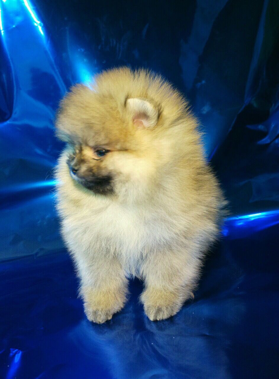 Pin By Judy Barner On Puppy Love Pomeranian Puppy Pomeranian Dogs