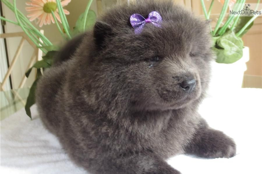 Chow Chow puppy for sale near Tyler / East TX, Texas