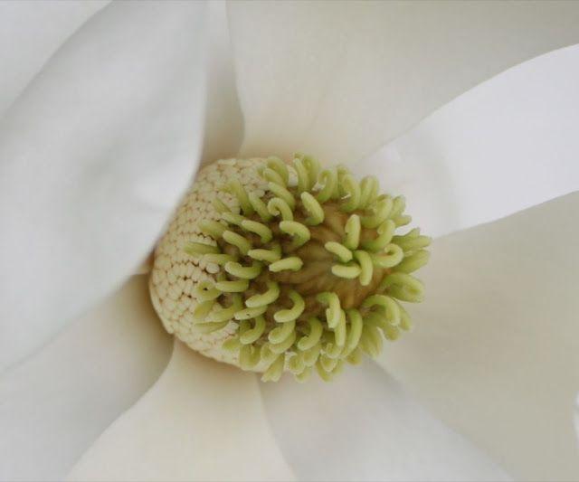 The Gumpaste Magnolia Tutorial Part 1 The Center Cakerator Flower Clay Zuckerblumen Blutenpaste Deko Blumen