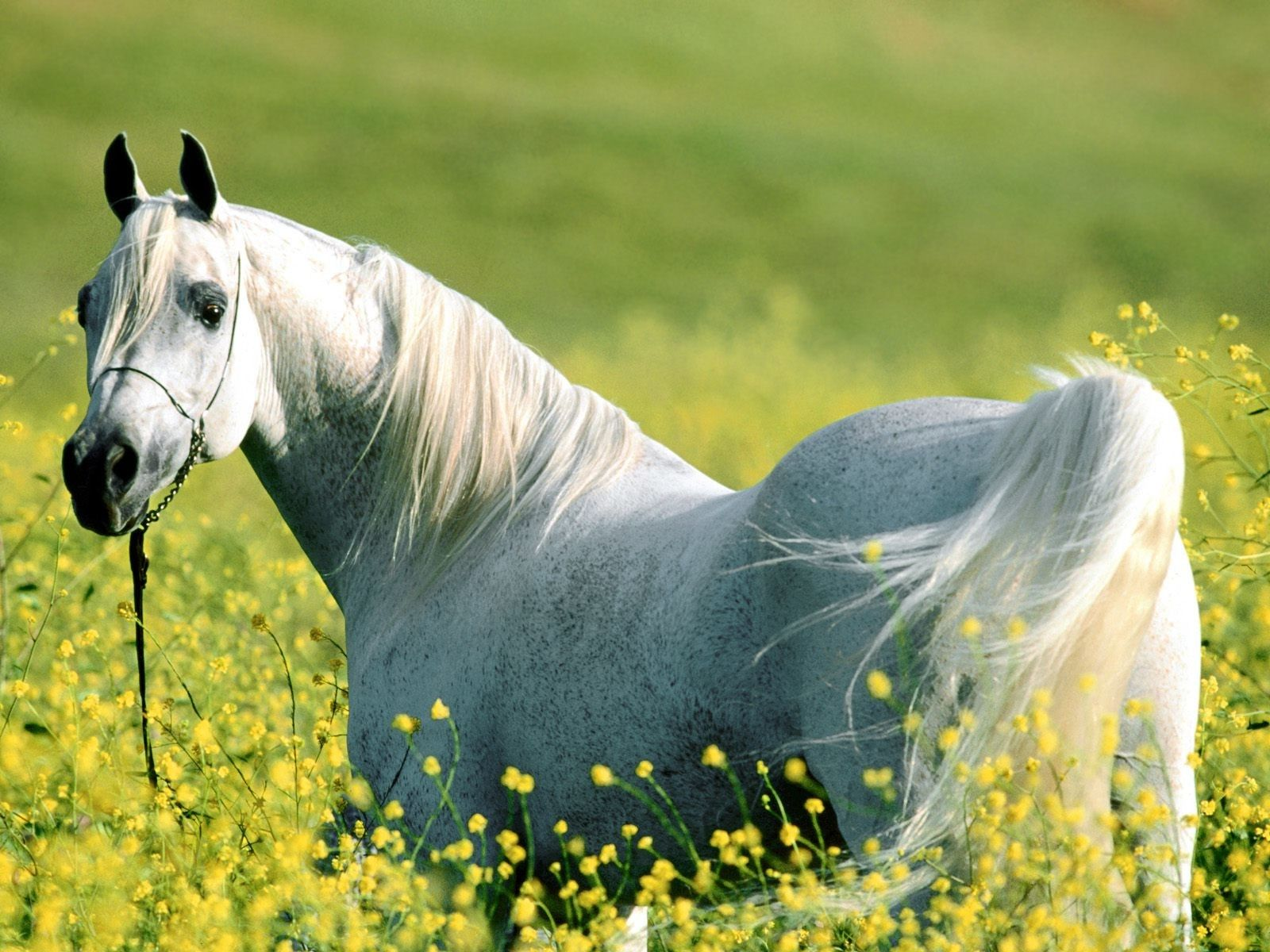 Beautiful Wallpaper Horse Yellow - e784526b924b84eb3bf3c8303f866c8c  Graphic_644964.jpg