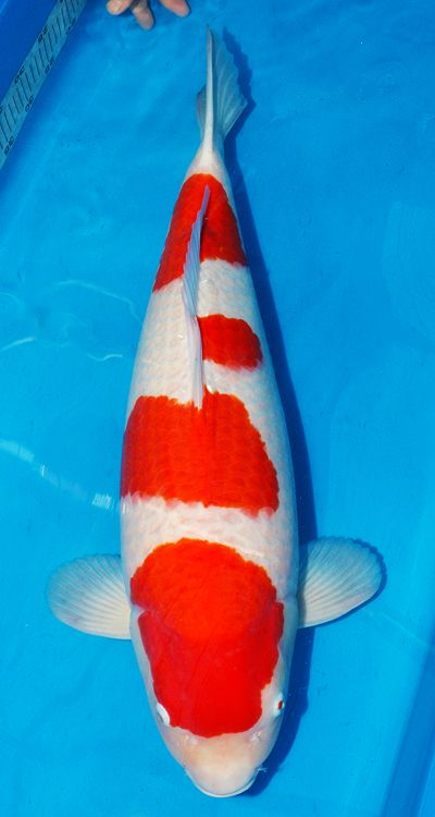 M Legend Kohaku Koi Koi Fish Koi Carp