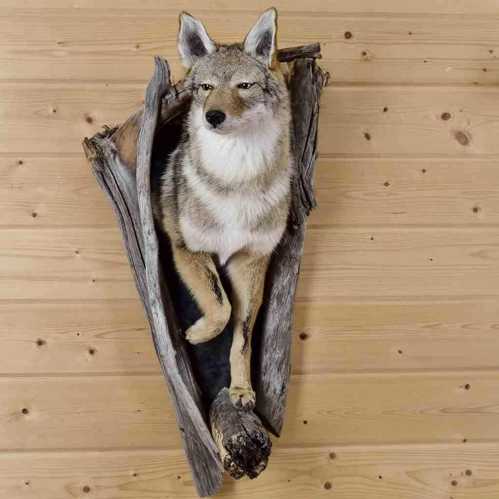 Western Coyote Half Body Taxidermy Mount Sw6080 In 2020 Coyote Mounts Taxidermy Mounts Taxidermy Decor