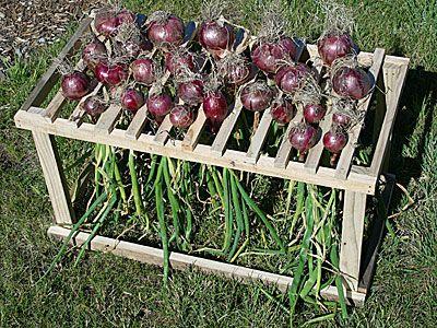 Onion Dryer