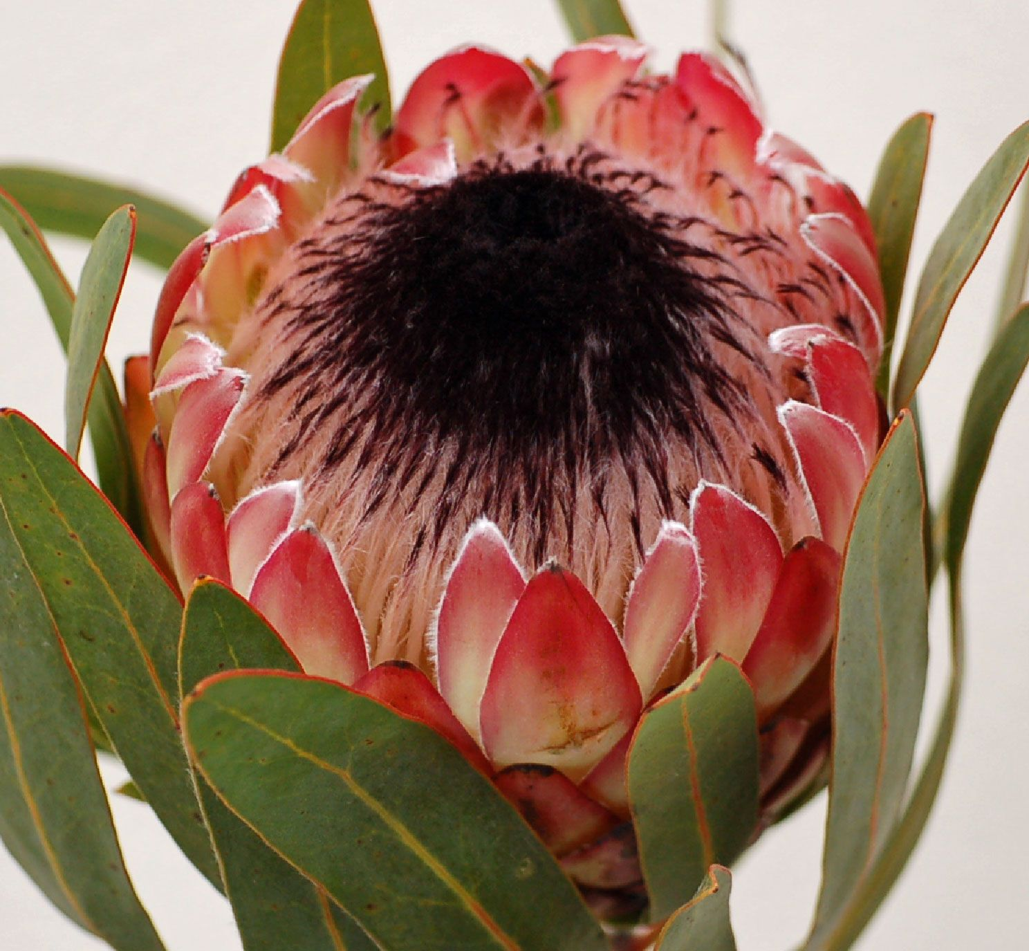 Pinita Cagrown Americangrown Protea Flower Flower Photography Art Australian Flowers