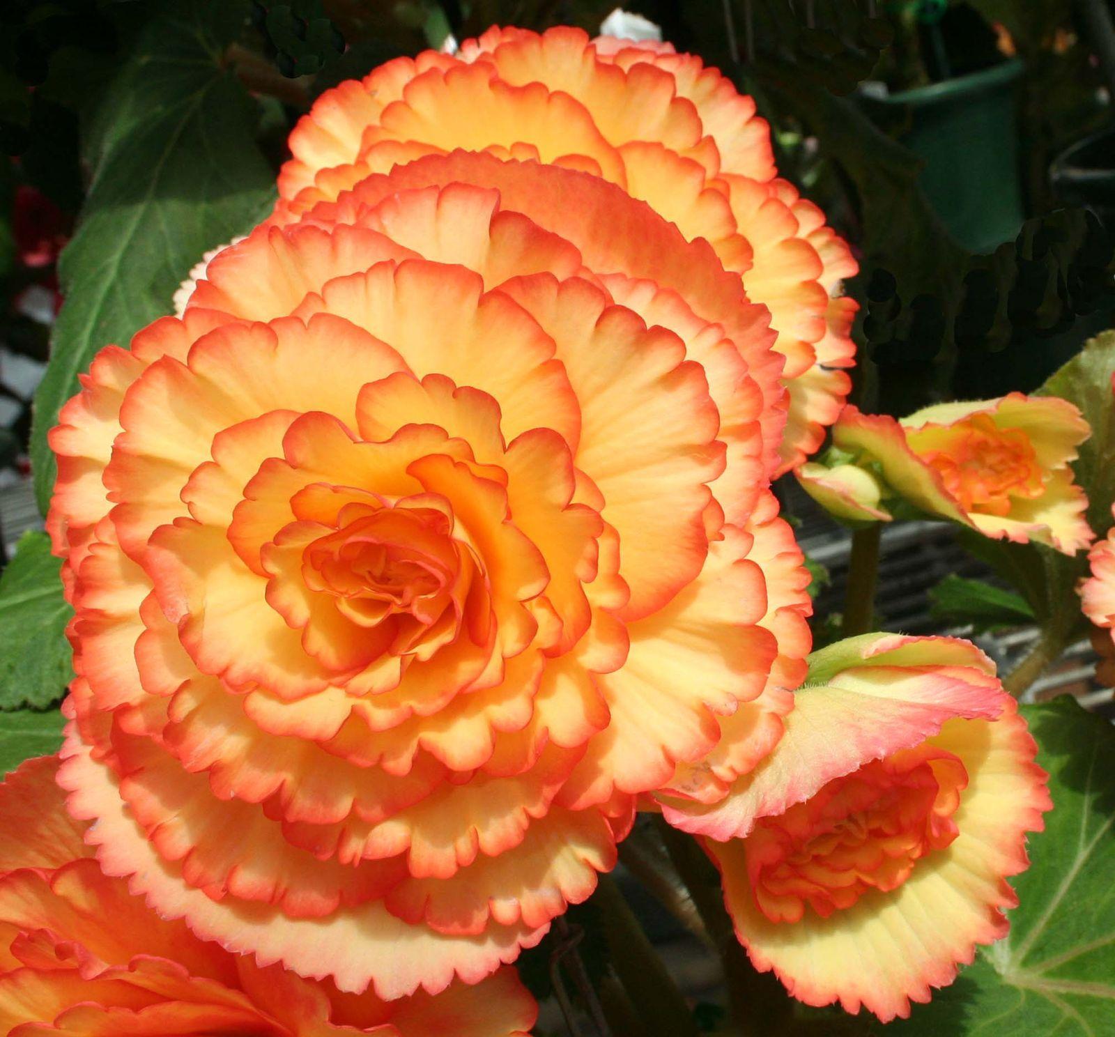 Бегонии разновидности с фото и названиями лилии