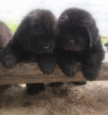What do you thing that is?? Joy of puppyhood for two Newfie cuties. Pimney's Point Farm
