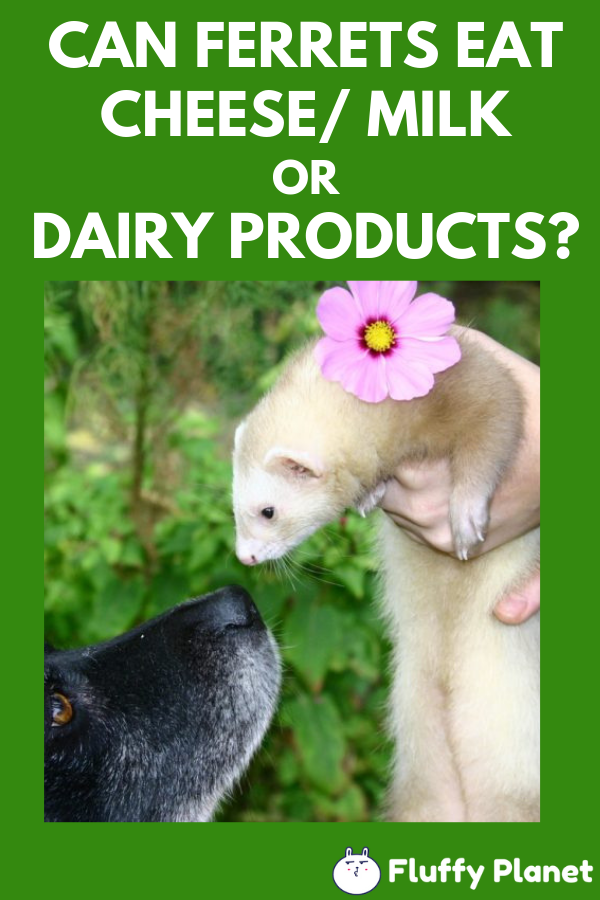 Can Ferrets Eat Cheese, Milk or Dairy Products?  2020    Ferret, Pet ferret, Ferrets care