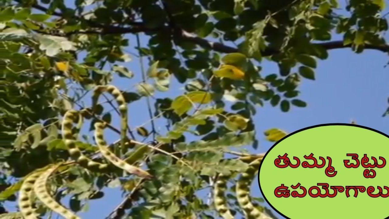 Medicinal Uses Of Babul Tree Thumma Chettu Upayogalu Health Benefits O Acacia Tree Babul Medicine
