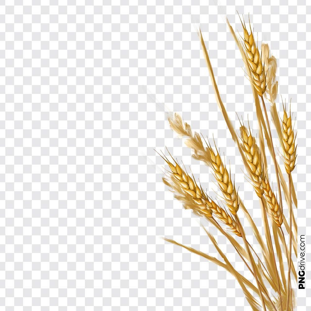 pin by png drive on wheat flour png images wheat flour clip art wheat berries wheat flour png images