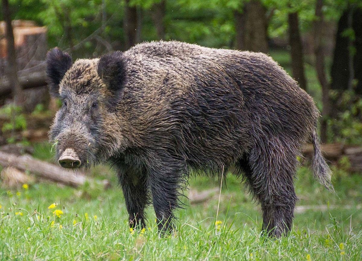 Wild Boar, Wild Pig, Animals Wild