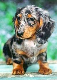 Long Haired Dapple Miniature Dachshund With Images Dapple