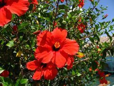 How To Make Paste Shampoo From Fresh Hibiscus Flowers And Leaves