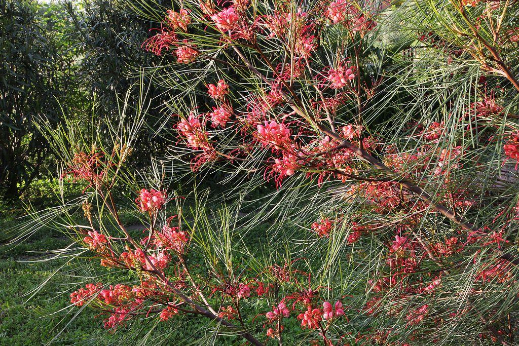Grevillea Long John Flowers Flora Grubb Plants Modern Garden