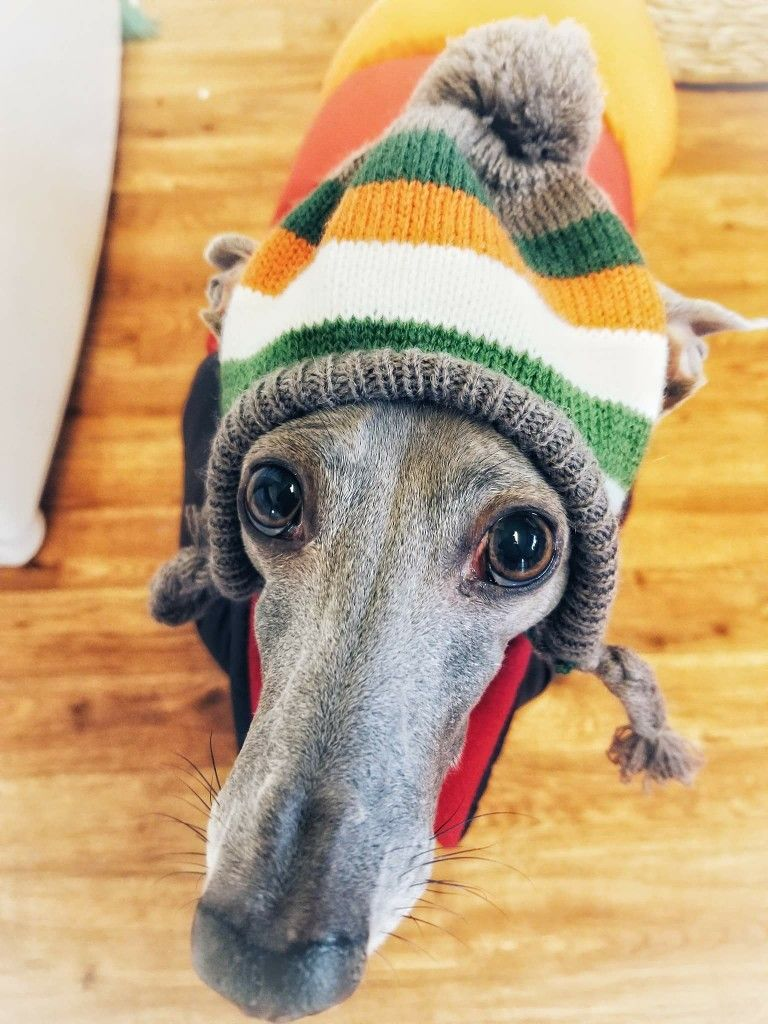 Asher The Italian Greyhound Ready For Snow Day Follow Him On