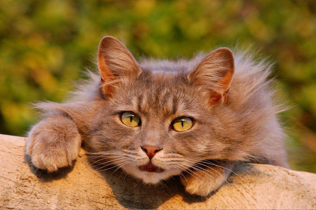 Cats Craigslist Catswithextratoes Info 130522048 Cat Adoption