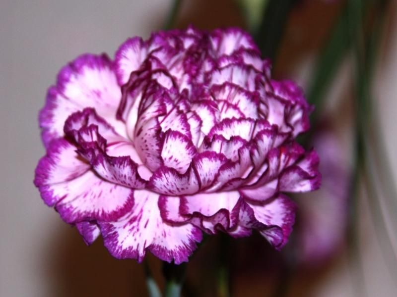 How Many Flowers Do You Know Carnation Flower Types Of Purple Flowers Carnation Flower Meaning