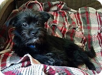 Lawrenceville Ga Affenpinscher Meet Taffy A Puppy For