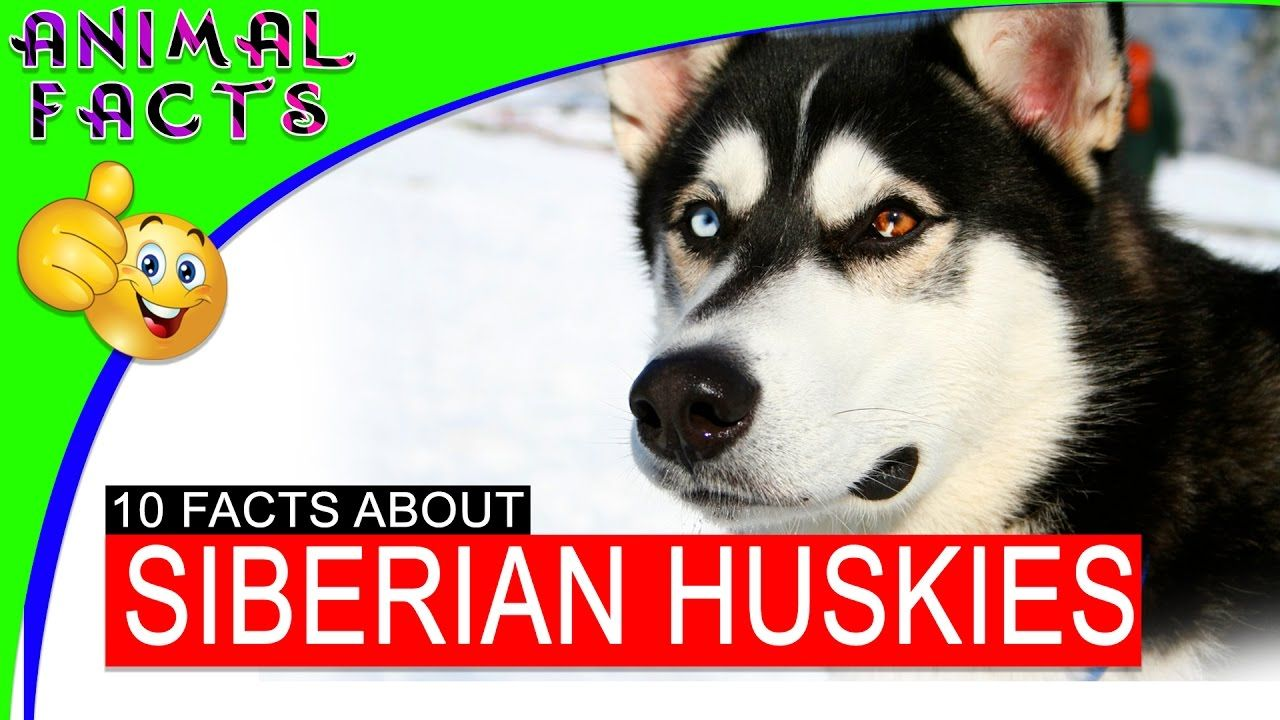 Siberian Husky Fun Facts To Know About The Best Dog Breed Ever 101