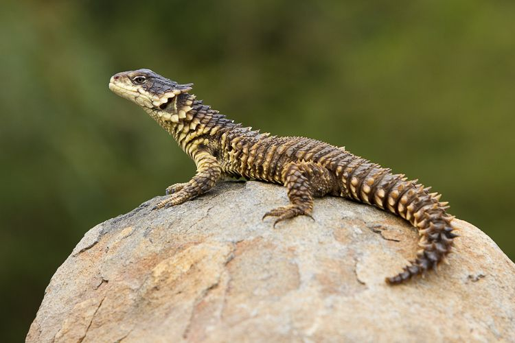 a16685f7f8009 Sungazer Lizard