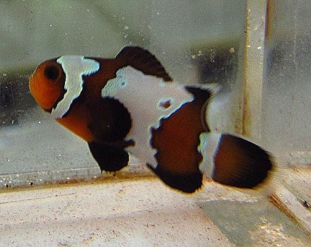 Proaquatix Bullet Hole Clownfish Saltwater Fish Clownfish Clown Fish Mandarin Fish Bullet Holes