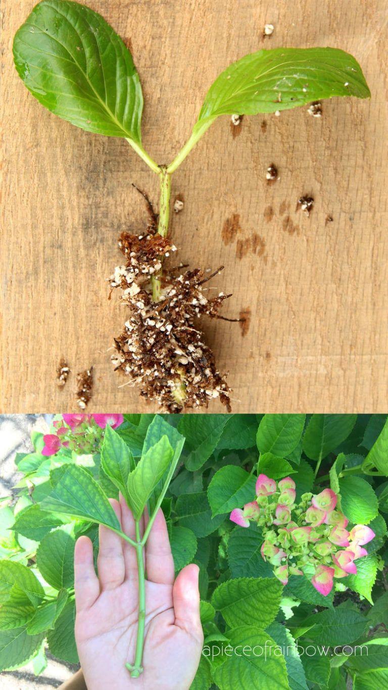 e78a2ed9683f9c1f27953f4a11c66021 - How To Take Hydrangea Cuttings Gardeners World