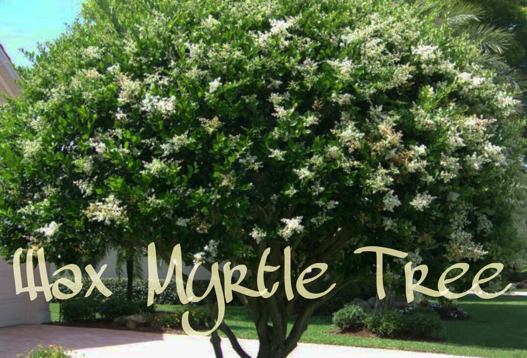 Three Beautiful Shade Trees To Consider For Your Home Shade Trees Fast Growing Trees Myrtle Tree